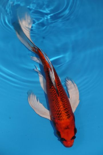 "Dragon Mix Butterfly-Koi For Sale 12"" 2108"